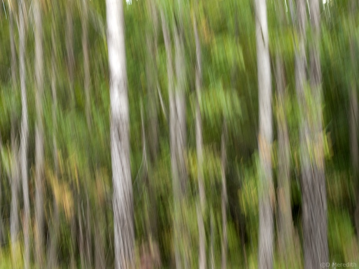 Motion blurred tree trunks.
