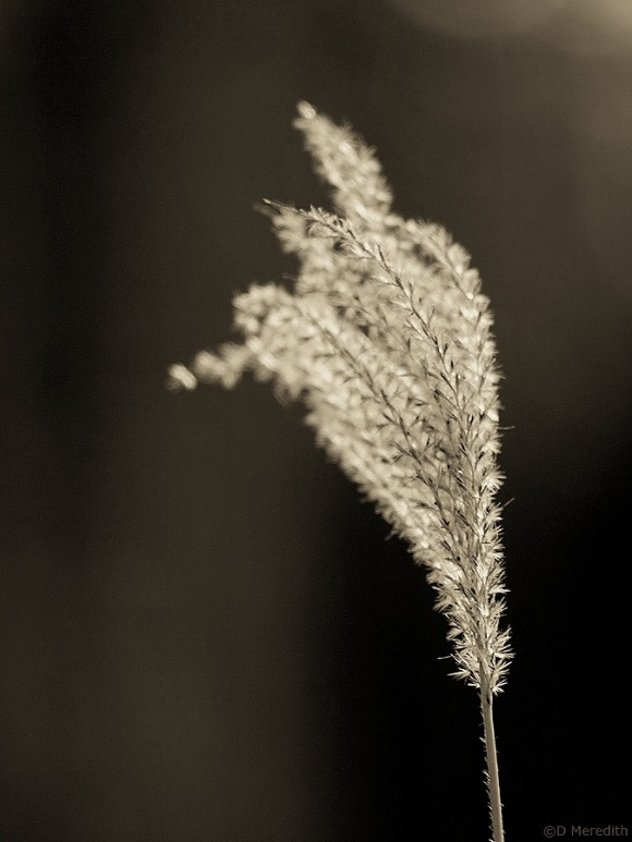 Monochrome seed head.