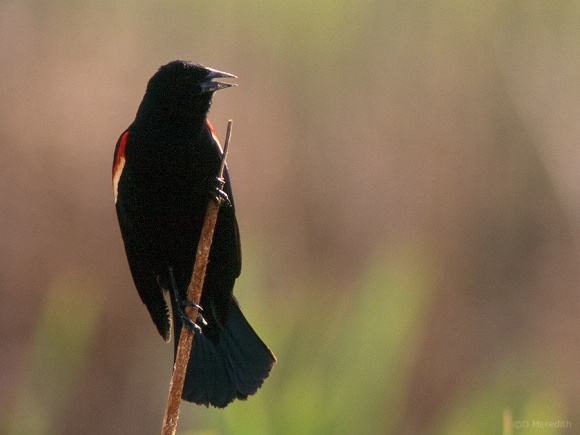 Backlit male Red-winged Blackbird proclaiming its territory.