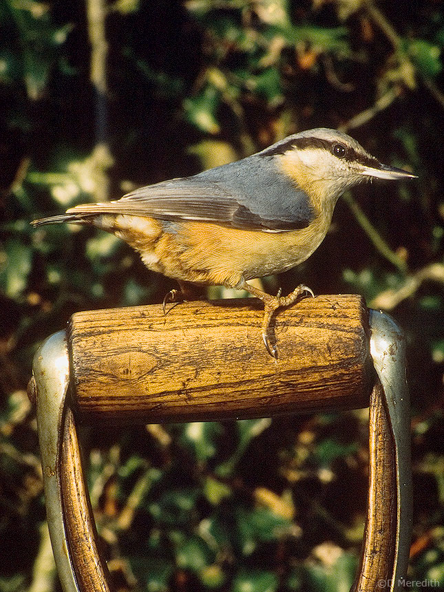 Wood Nuthatch.