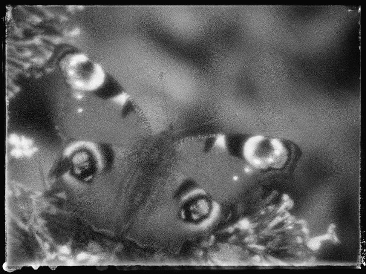 Eyespots on a Peacock Butterfly.