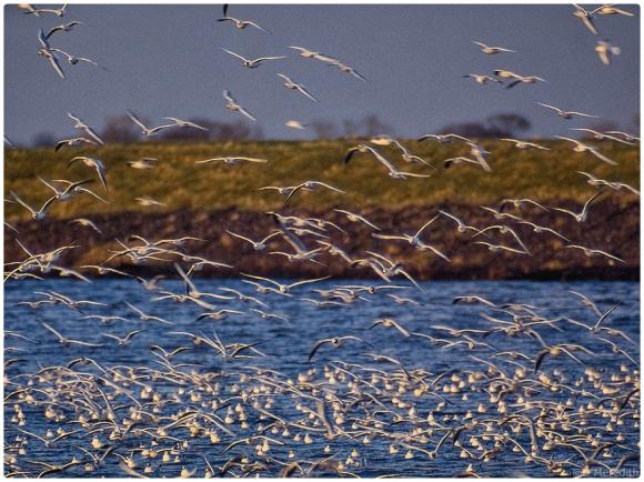 Black-headed Gull winter roost.