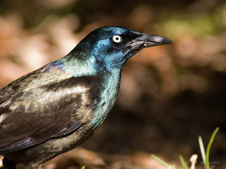 A shiny male Common Grackle.