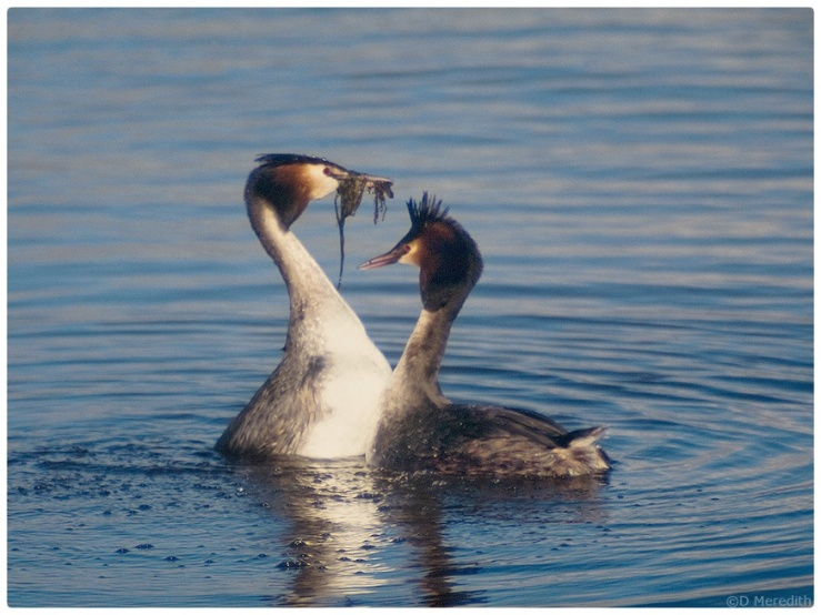 Great Crested Grebe, weed waving display.