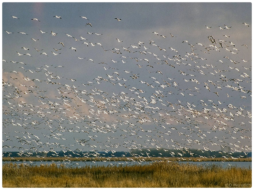 A gathering of Snow Geese.