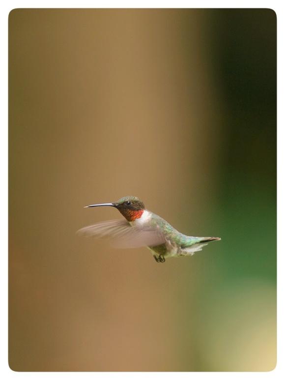 Flying male Ruby-throated Hummingbird.