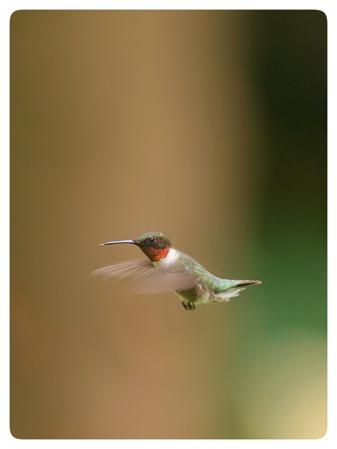 Flying male Ruby-throated Hummingbird.
