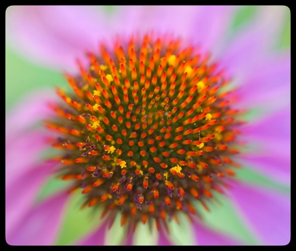 Coneflower detail.
