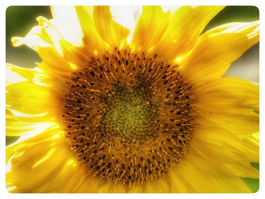 Sunflower circle.
