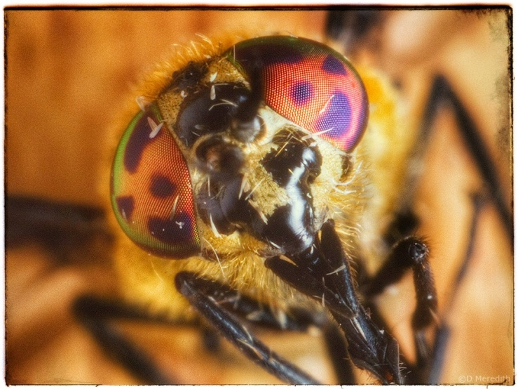 Horse-fly portrait.