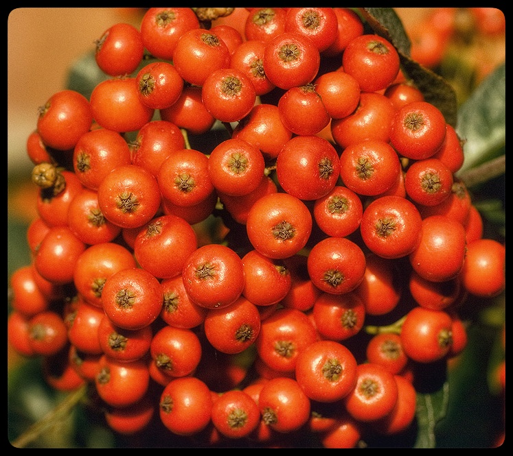 Firethorn berries.