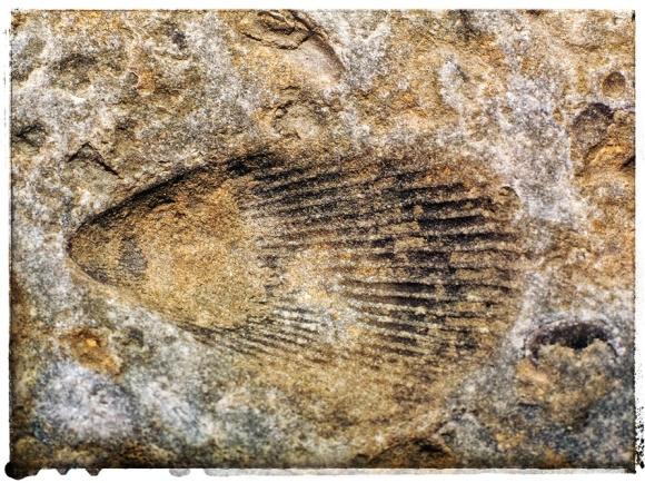 Seashell fossil.