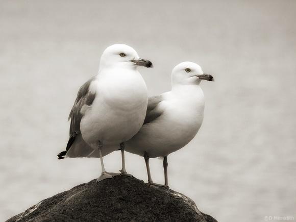 Ring-billed Gulls in monochrome.
