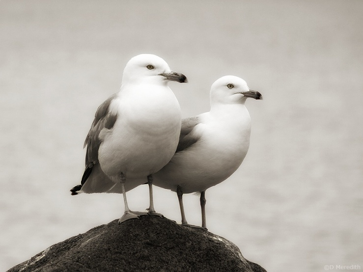 Ring-billed Gulls in monochrome.