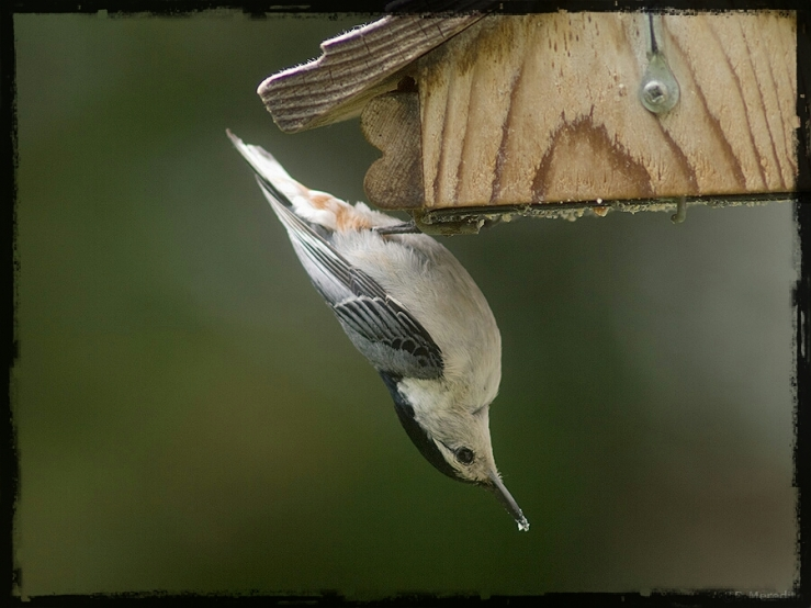 White-breasted Nuthatch on feeder.