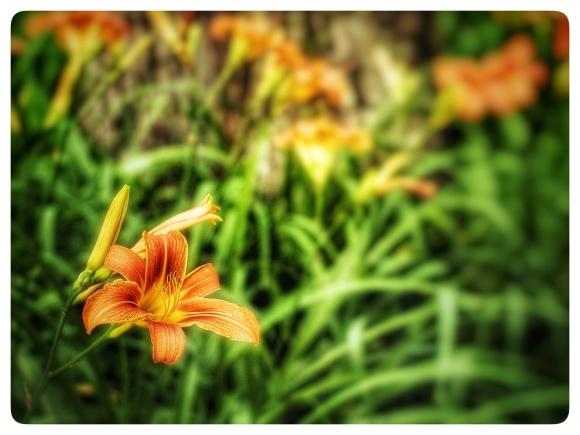Group of Orange Daylily.