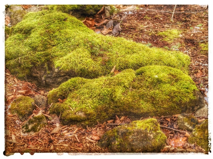 Moss covered rocks amongst leaf litter.