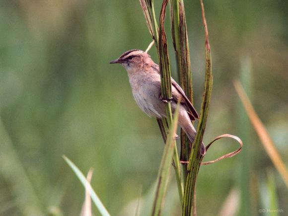 Summer migrant Sedge Warbler.
