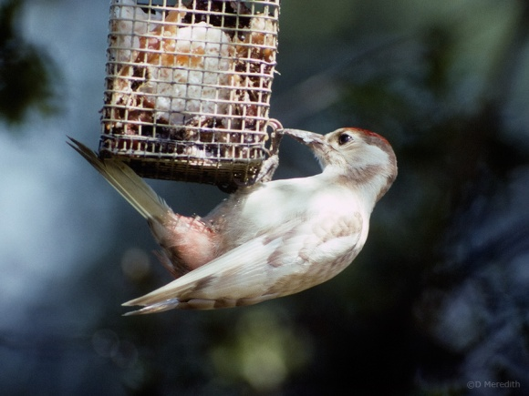 Leucistic Woodpecker on a suet feeder.