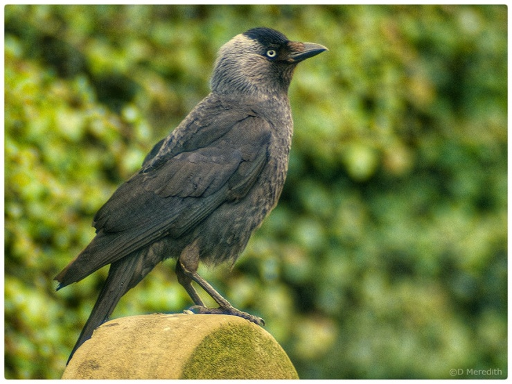 Jackdaw on a grinding wheel.