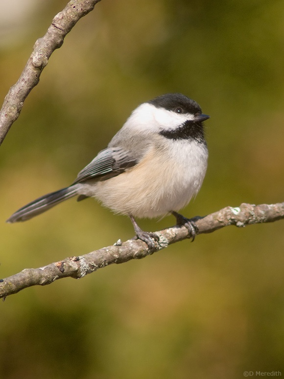 Black-capped Chickadee on a stick.