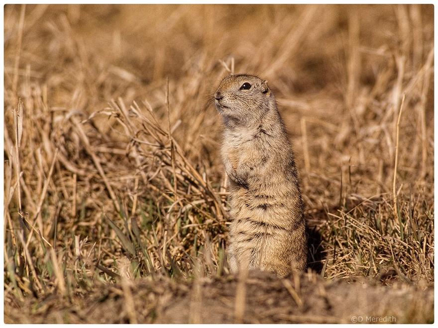 Richardson's Ground Squirrel in the spring.
