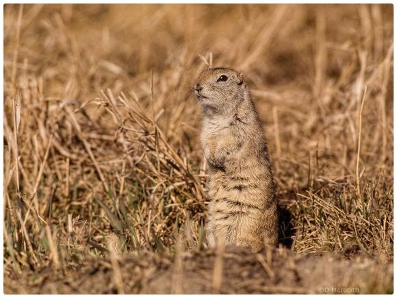 Richardson's Ground Squirrel in the spring.