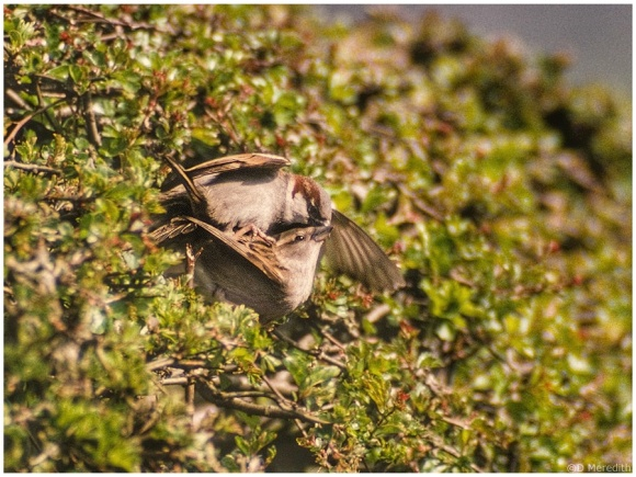 Mating House Sparrows.