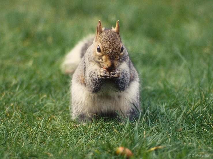 Grey Squirrel eating an Acorn.