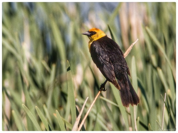 Yellow-headed Blackbird surveying his territory.
