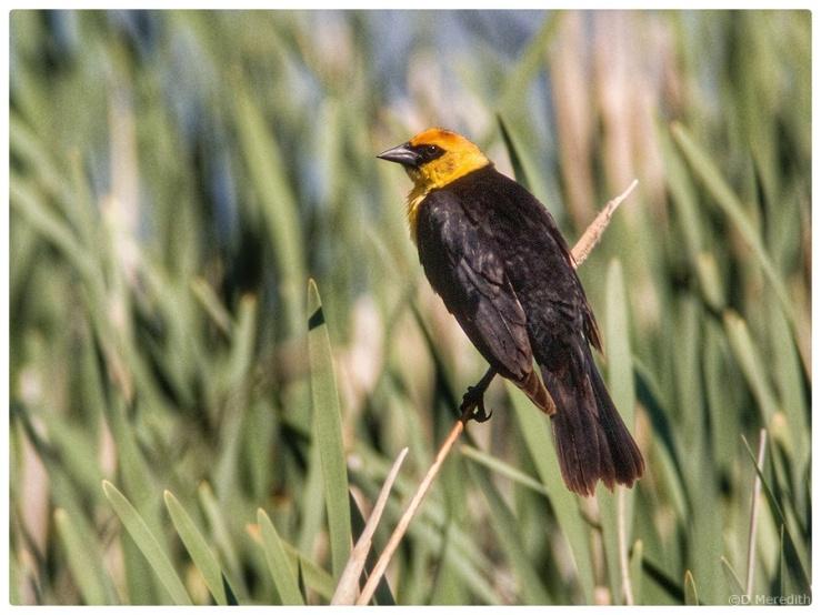 Yellow-headed Blackbird surveying his territory.