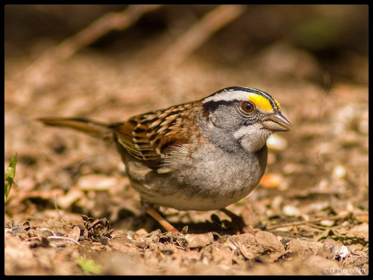 Eye level with a White-throated Sparrow.