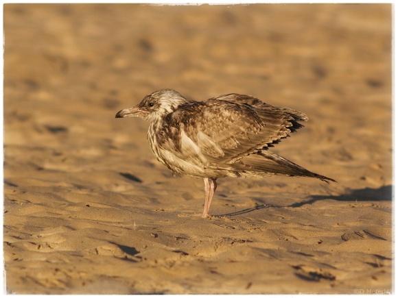Oiled bird on the Lake Huron shoreline.