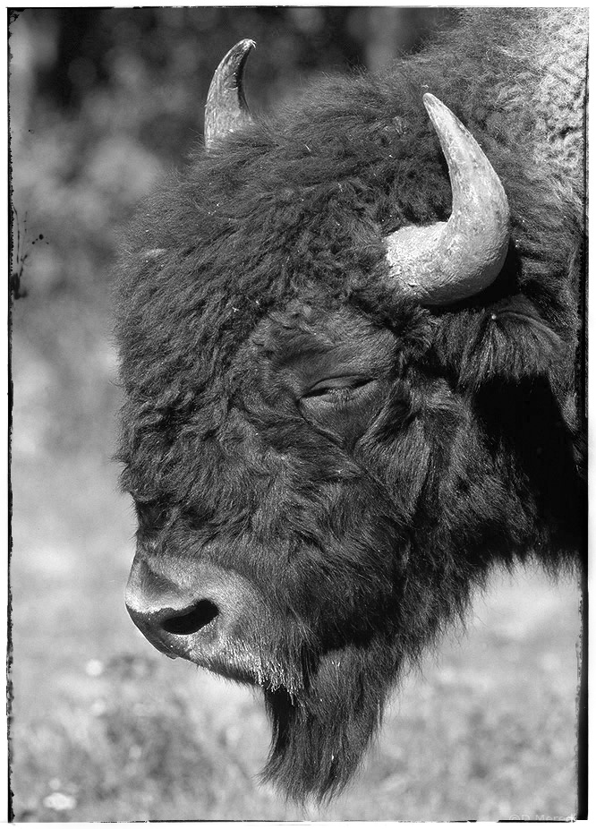 Portrait of a bull Bison.