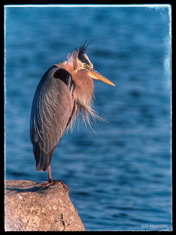 Grumpy Heron.