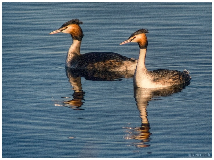 A pair of Great Crested Grebes.