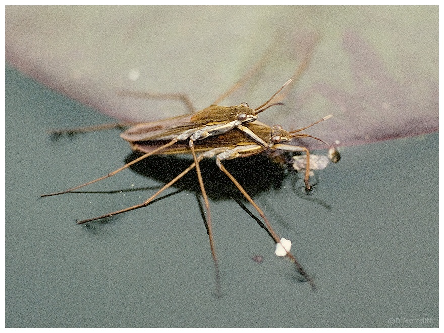 Mating Pond Skaters.