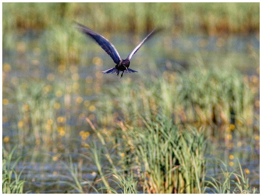 Feeding Black Tern.