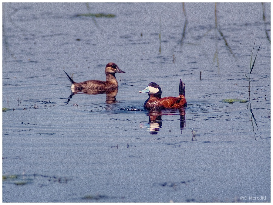 Male Ruddy Duck bubbling at female.