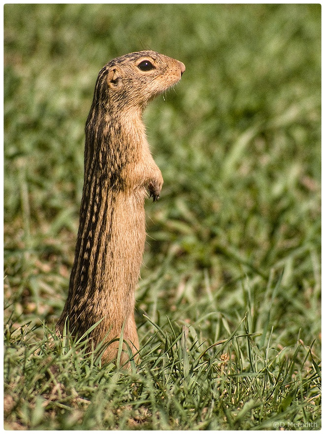 Ground Squirrel in the summer.