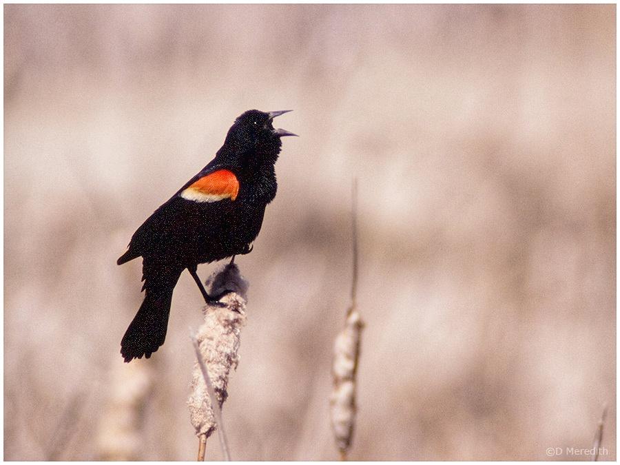 Male Red-winged Blackbird.