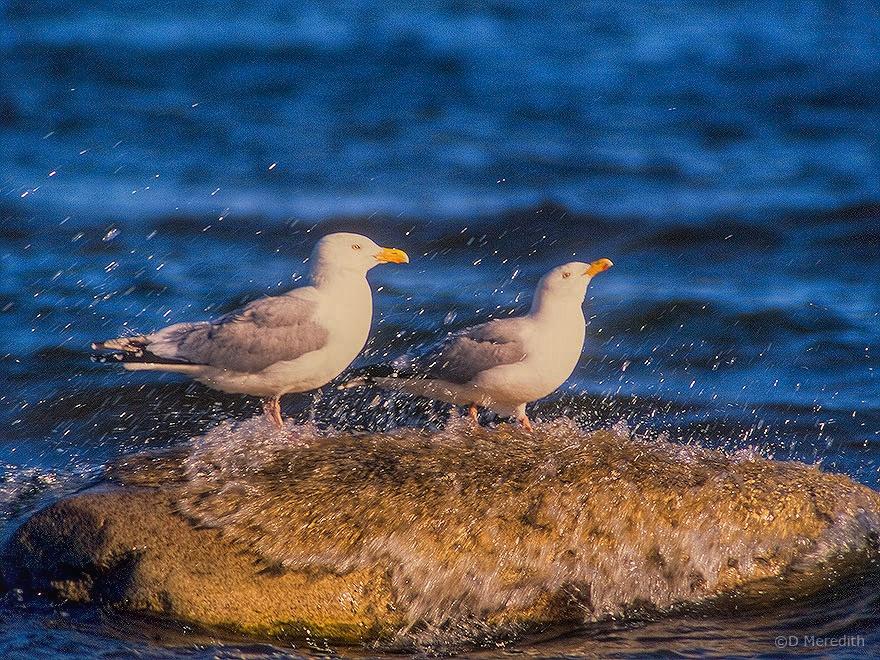 Showering Herring Gulls.