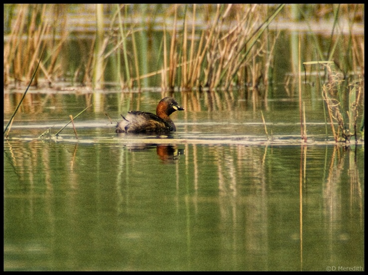 Little Grebe or Dabchick.