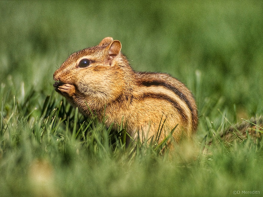 An Eastern Chipmunk posing for a photo.