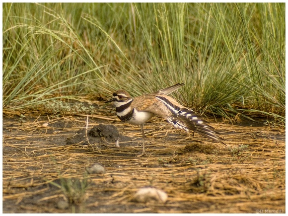 Stretching Killdeer.