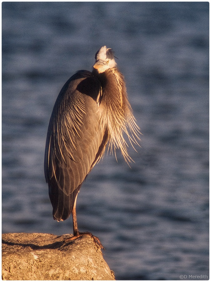 Great Blue Heron with its plumes blowing in the wind.