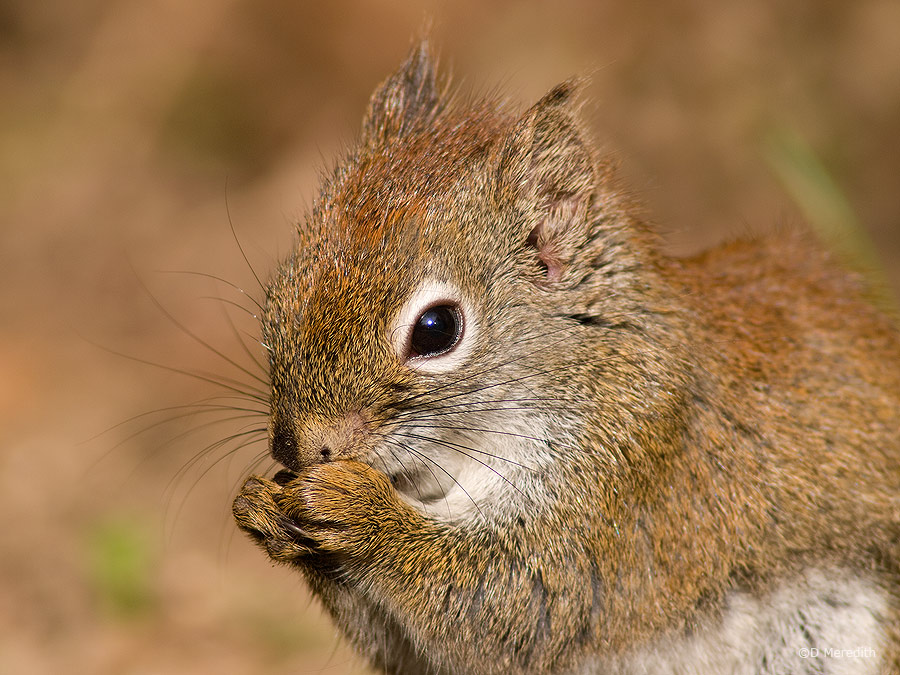 American Red Squirrel feeding.