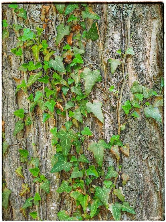 Ivy climbing a tree trunk.