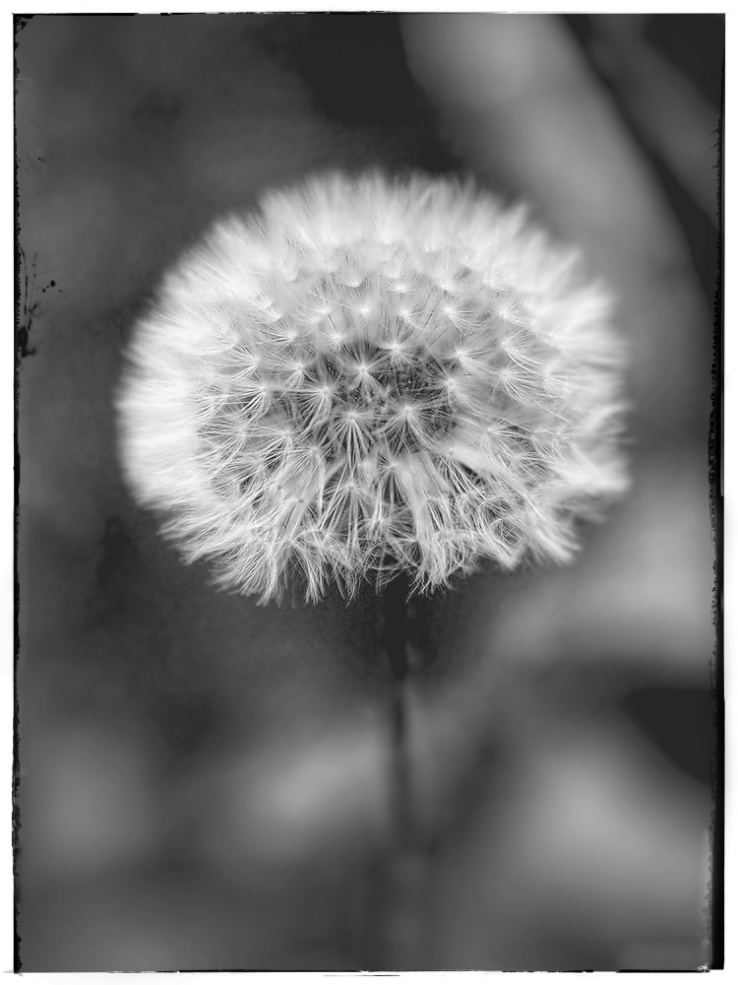 Dandelion seed head in monochrome.