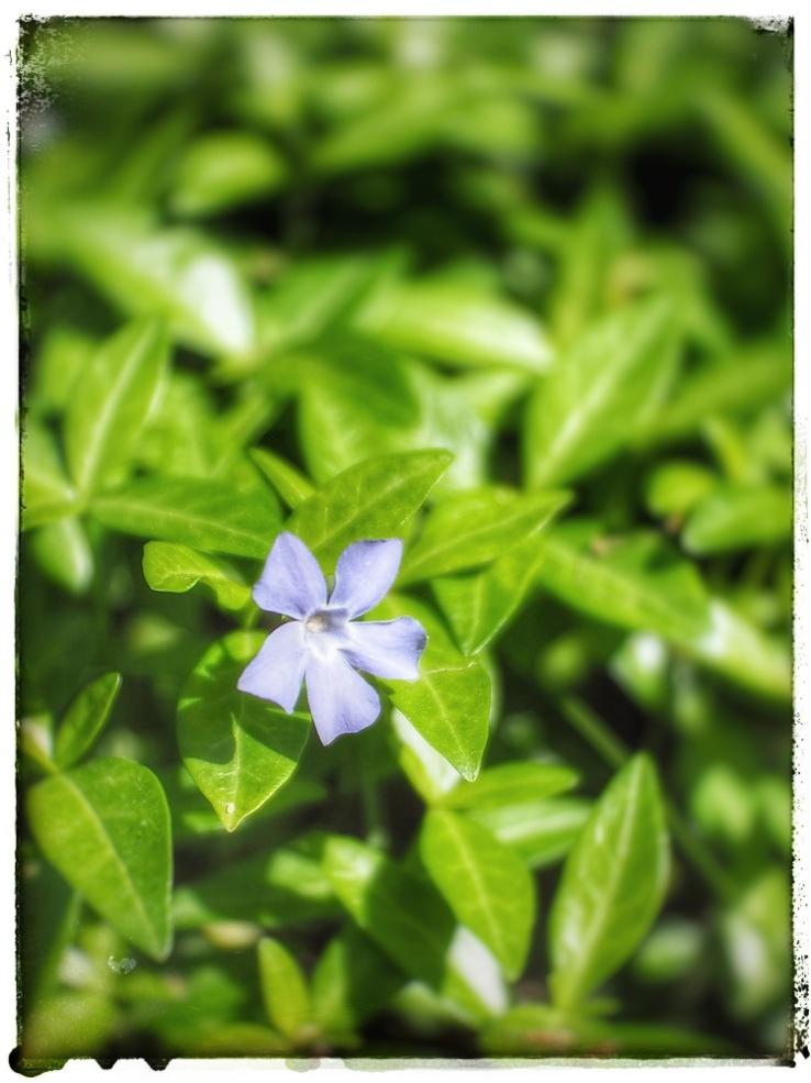 A Single Blue Flower.